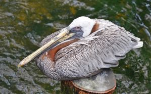 Pelican Pillow by TerribleTer