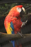 Red Macaw by Azagh
