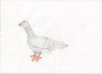 Traditional pigeon by adampanak