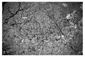 leaves bw by FigoTheCat