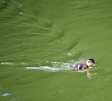 Duckling 9639 by filmwaster