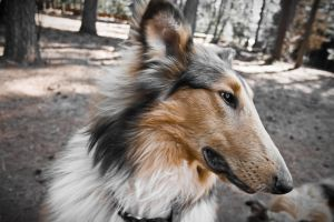 Collie Face_Side by Zoso1024