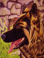 Alsatation dog colour pencil drawing by shirls-art