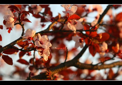 Cherry blossom by moem-photography