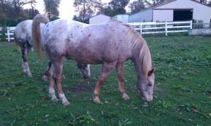 Red Roan Blanket Appaloosa 4 by cluteplayer