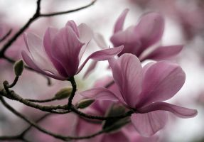 magnolias by cenevols