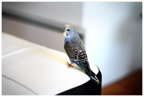 Kiwi the budgie by couinette