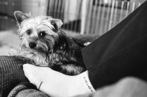 Dixie the Yorkie waking up from a nap. by blueomni87