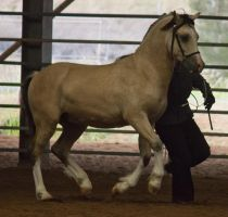 STOCK - 2014 Welsh QLD Show-34 by fillyrox