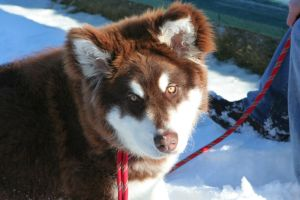 Sika a Giant Alaskan Malamute by Floogie