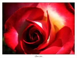 a rose red by aniabeata