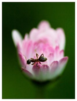 Ant and its flower by de1ete