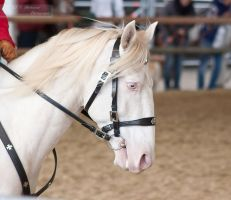 Lusitano_16 by CalyHoney