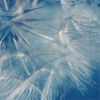 Dandelion by Leavylaulada