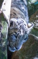 Snow Leopard Photo by CharmyRaven