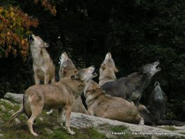 wolf pack howling by KIARAsART