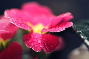 Spring drops by ValiCaptures