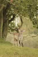 Young male deer 2 by jochniew