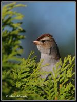 Bruant a couronne blanche by Ptimac