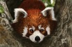 Red Panda Study by 2BeanSoup