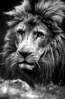 Lion by Perseus67