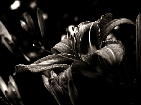 tiger lily by freakeesh