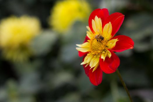 Dahlia and bee by Monikker