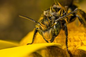 Miner Bee HDR by dalantech