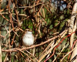 Little White Throated Sparrow by natureguy