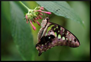 Tailed Jay by Caelitha
