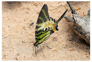 Butterfly 101 (Fivebar Swordtail) by kiew1