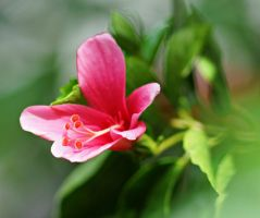Hibiscus Flower Series 12 by a6-k