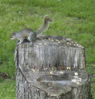 Squirrel 2 by Dracoart-Stock