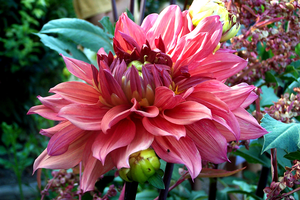 Pink Dahlia by Meados