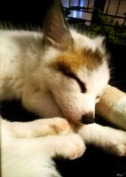 Marble fox kit by sudro