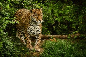 jaguar184 by redbeard31