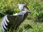 Shoebill by Parides