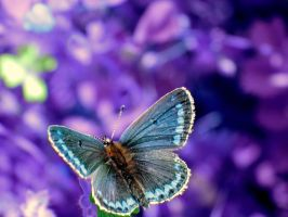 Violet Blue by suc69