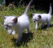 kittens marching by sauco