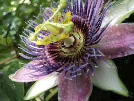 Passion Flower by Jupiter1212