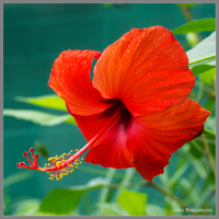 Hibiscus Blooming by Mogrianne