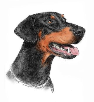 Doberman portrait vol.2 by asbolos
