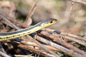 Common Garter Snake by GuillaumGibault