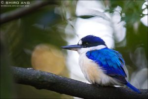 Forest Kingfisher - 01 by shiroang