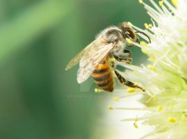 Bee by ktsimage