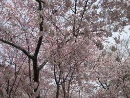 Cherry Blossoms DC by ddoss
