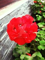Red Flower Stock by Sk1zzo