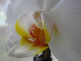 My Orchid 1. by AngelTimi88