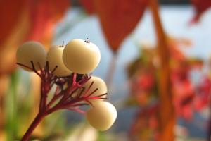 Autumn White Berries by a-kid-at-heart