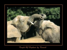 Couple Of Elephant by caracal